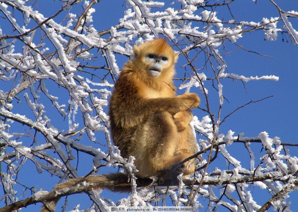 姜勇 冬天金丝猴 金丝猴 猴子 神农架 摄影 生物世界 野生动物 72dpi