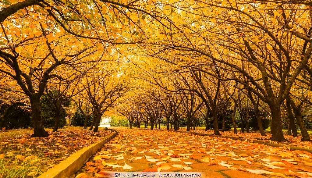 公园小径简笔画_树林小路枫树林小路枫树秋天秋高爽金黄的树林落叶秋景