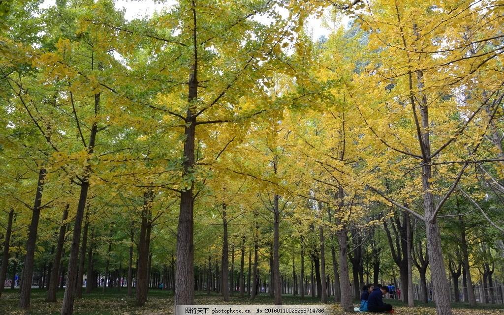 银杏树 银杏林 银杏叶 银杏树叶 树林 秋天 秋色 摄影 生物世界 树木