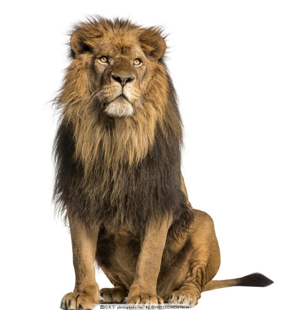 雄狮 狮子 威武 非洲狮 非洲动物 食肉动物 食物链 狮王 猛兽 猫科