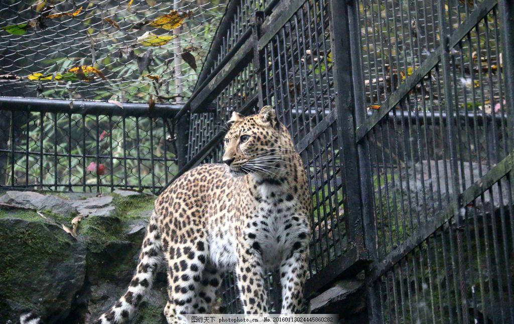 豹子 花豹 动物 动物园 粘豹 摄影