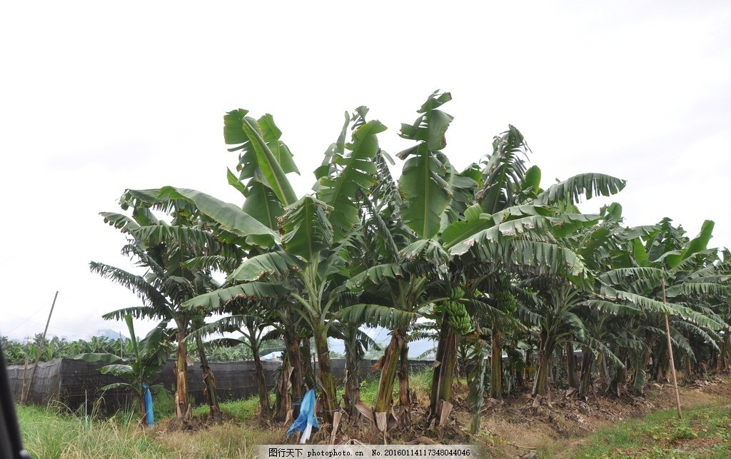 香蕉林 香蕉 橡胶树 香蕉树林 大片香蕉林 摄影 自然景观 自然风景