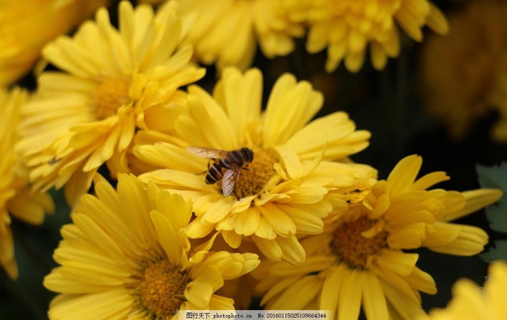 蜜蜂与秋菊 动物 植物 菊花 花卉 昆虫 摄影