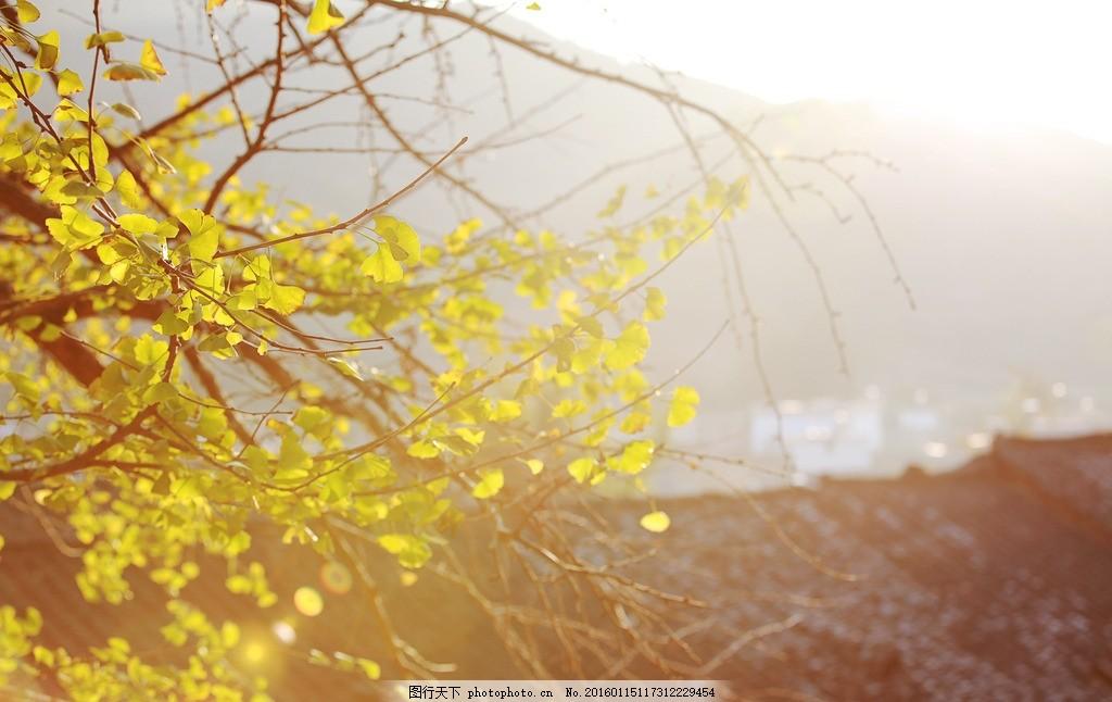 银杏叶子 银杏树叶 秋天的味道 秋天的阳光 南雄 自然风光 摄影 自然