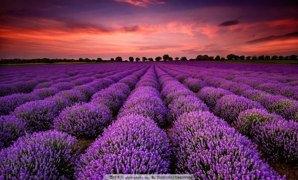 花海 薰衣草 紫色 唯美 梦幻 花田 田园 鲜花 美景 美丽自然 摄影
