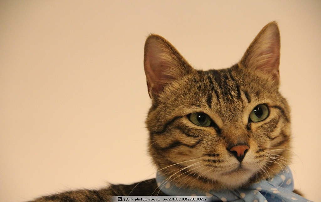 小猫咪 喵星人 猫咪 可爱 围巾 纯色背景 摄影 生活百科 生活素材 300