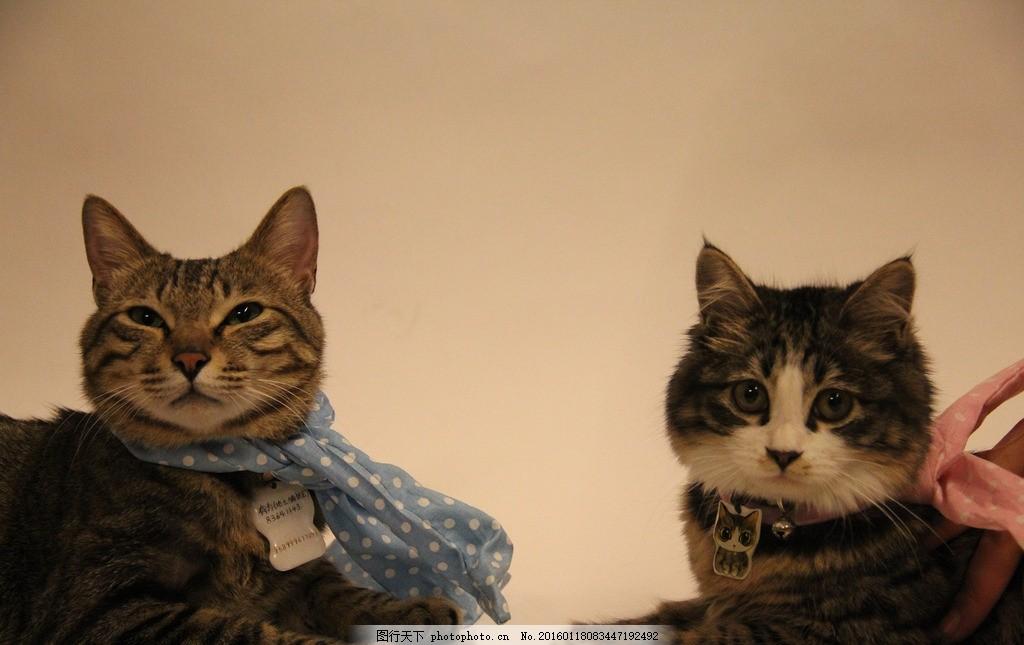 小猫咪 喵星人 可爱 合照 纯色背景 围巾 摄影 生活百科 生活素材
