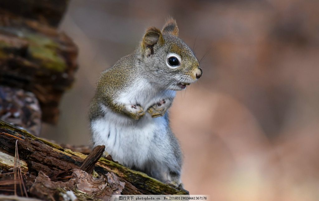 松鼠 森林 可爱 小动物 萌宠 自然 摄影