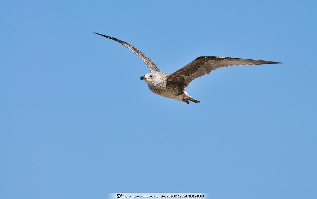 飞鸟 蓝色 天空 动物 美图 摄影