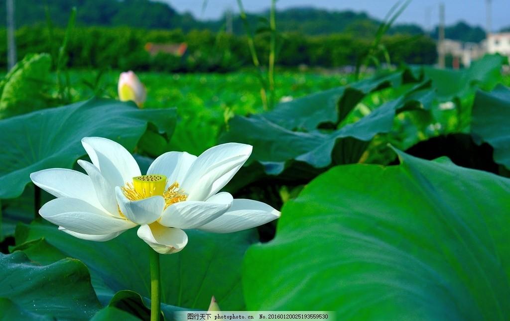 白荷花 荷花 荷 花 莲花 荷叶 可爱植物 摄影 生物世界 花草 300dpi