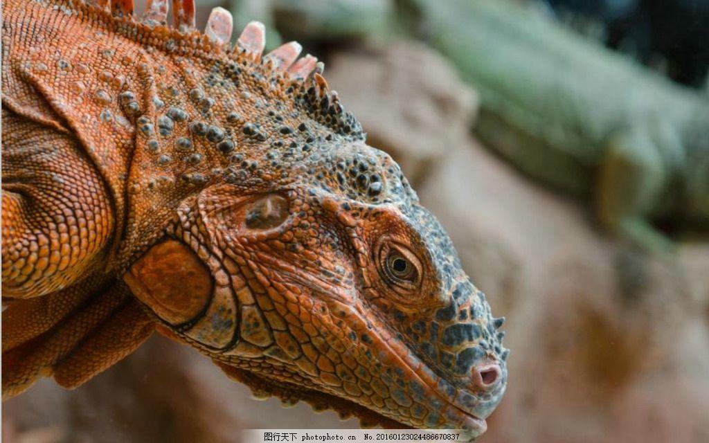 蜥蜴 动物 动物海报 动物展板 动物园海报      摄影 生物世界 野生