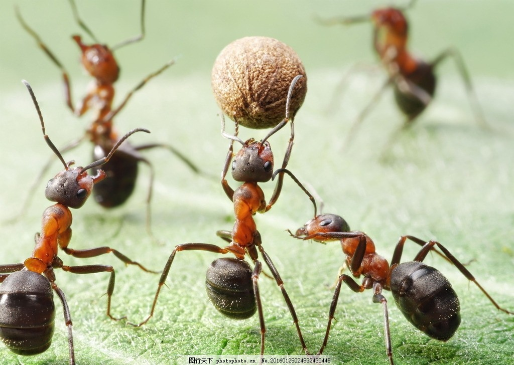 蚂蚁搬运 蚂蚁搬家 工蚁 搬东西 食物 绿叶 树叶 叶子 坚果