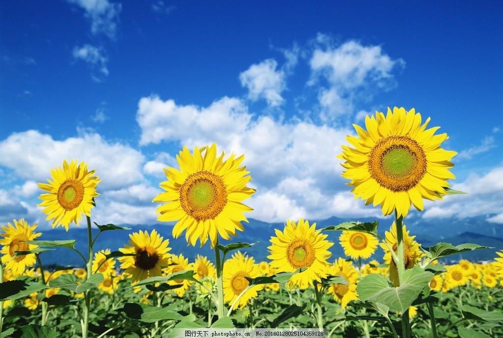 向日葵 太阳花 花朵 花园 摄影 生物世界 花草 350dpi jpg