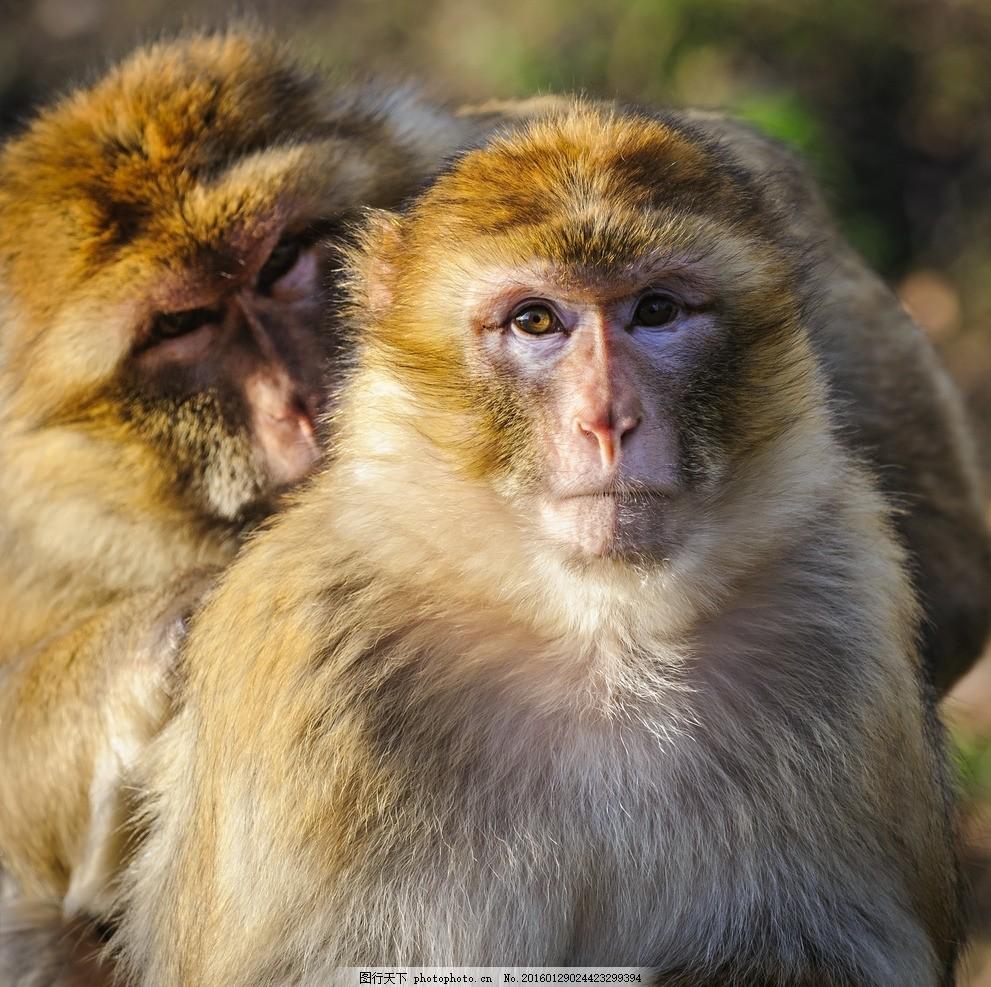 唯美 炫酷 生物 金丝猴 猴子 可爱 野生 摄影 生物世界 野生动物 300