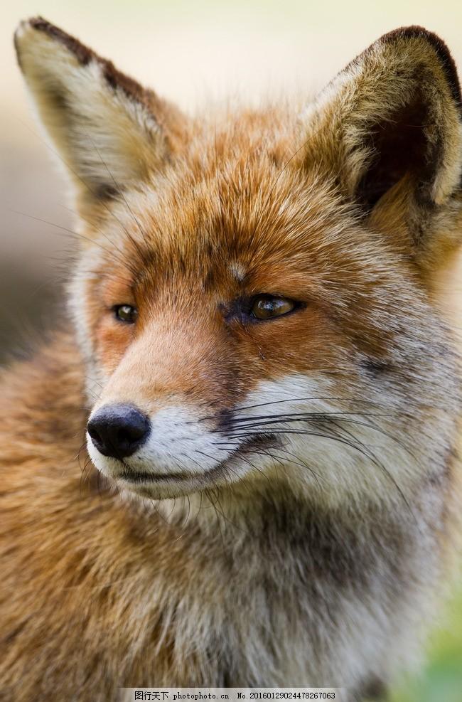狐狸 红狐 唯美 炫酷 生物 动物 可爱 摄影
