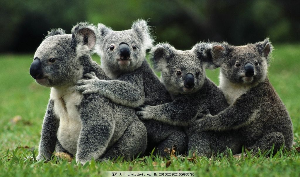 树袋熊 萌宠 小动物 萌萌哒 你二大爷 摄影