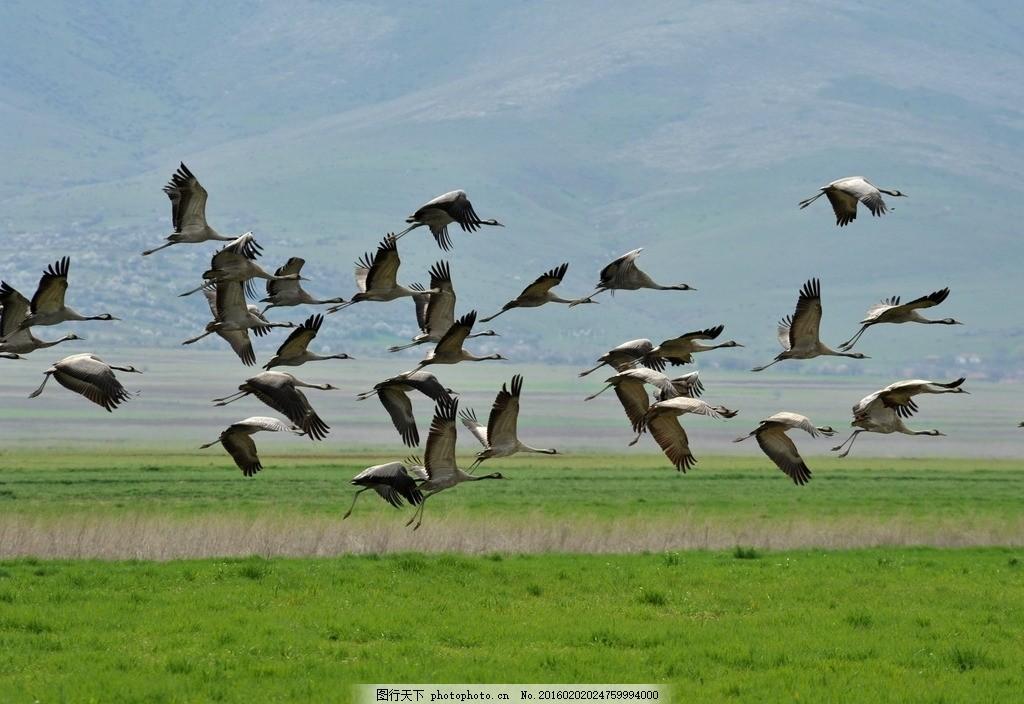飞翔的丹顶鹤 天空飞鸟 丹顶鹤图片 飞禽图片 鸟类图片 动物图片