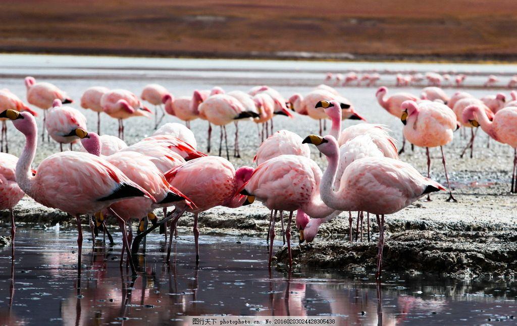 炫酷火烈鸟 唯美 炫酷 火烈鸟 动物 可爱 生物 摄影 生物世界 野生