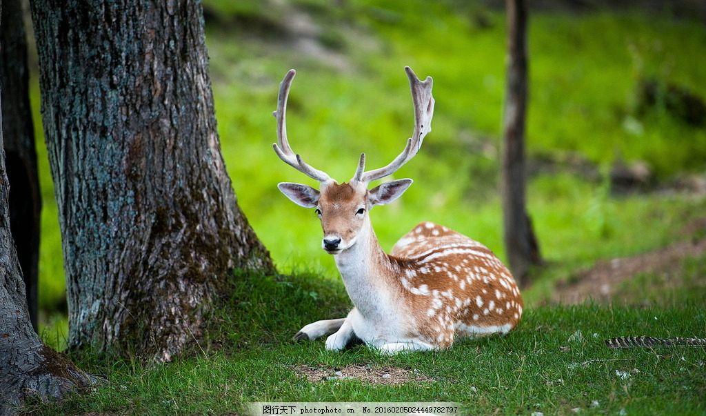 唯美梅花鹿 唯美 可爱 动物 生物 鹿 小鹿 梅花鹿 摄影 生物世界 野生