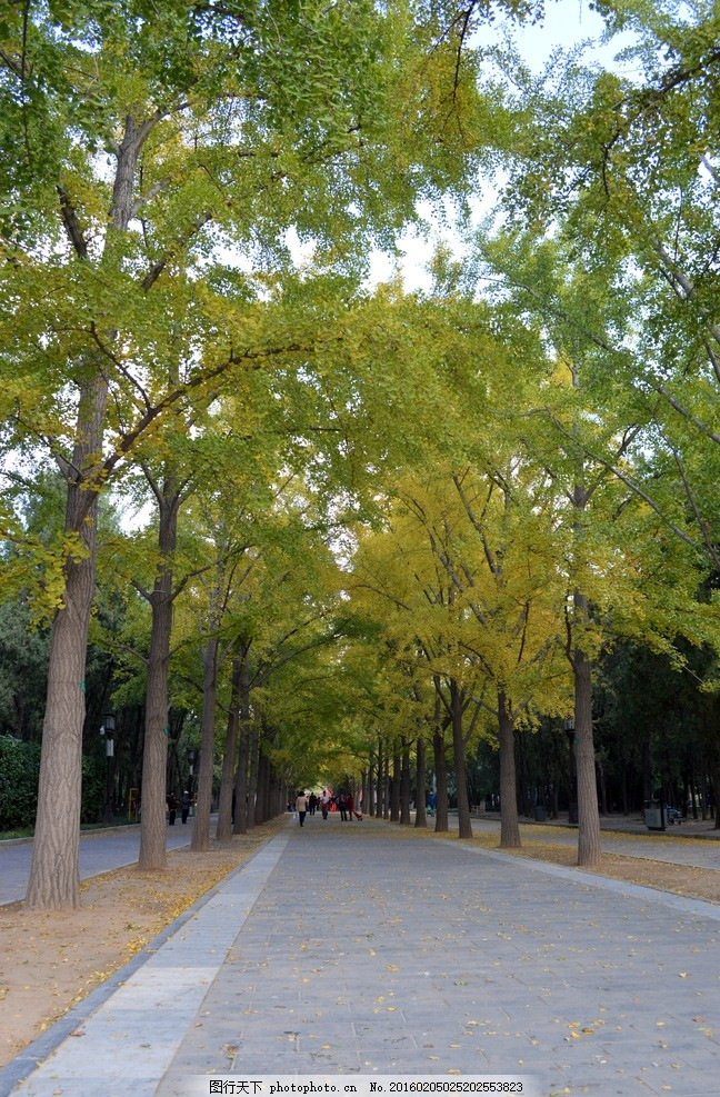 银杏树 银杏树林 树木 排排树木 银杏林 银杏叶 摄影 生物世界 树木