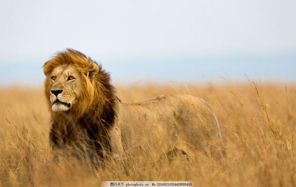 可爱狮子 唯美 炫酷 可爱 狮子 野生 摄影 生物世界 野生动物 72dpi