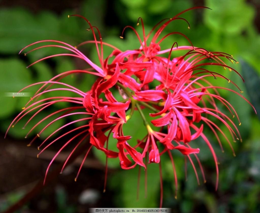唯美 植物 自然 花 花朵 花卉 鲜花 彼岸花 曼珠沙华 摄影 生物世界