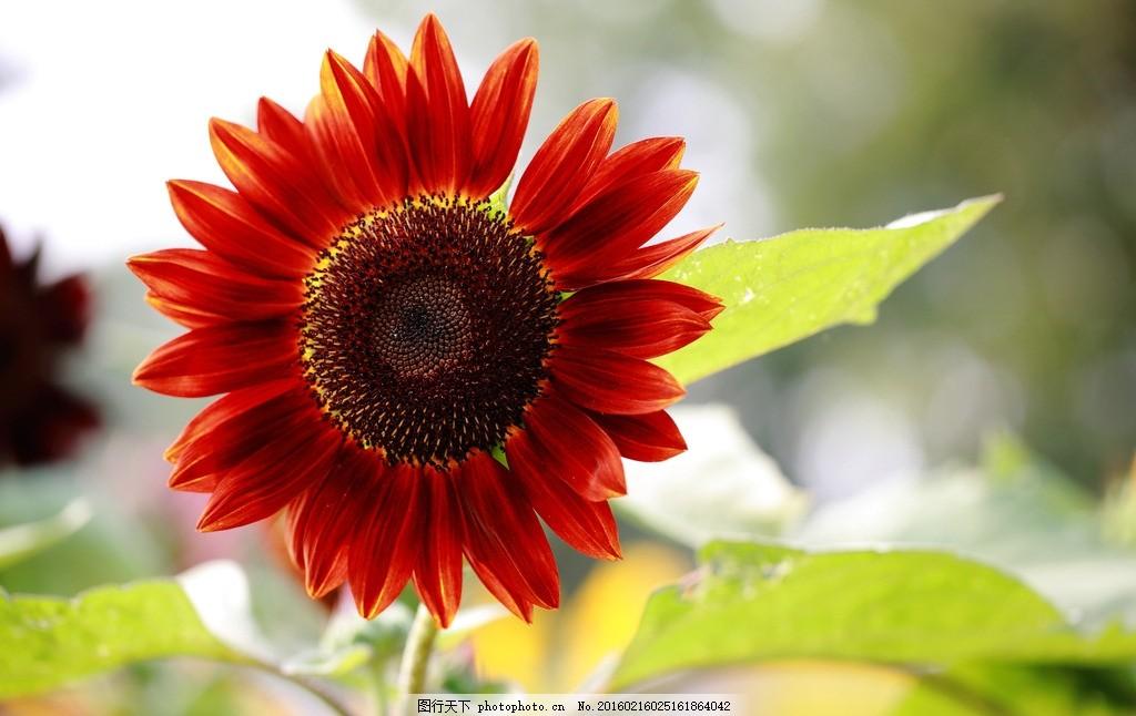 唯美 植物 自然 鲜花 花 花卉 花朵 向日葵 葵花 摄影 生物世界 花草