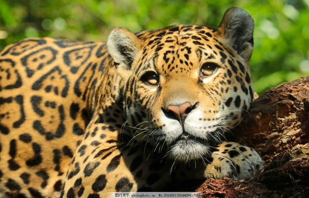 唯美豹子 唯美 炫酷 生物 动物 豹子 花豹 凶猛 金钱豹 摄影 生物世界