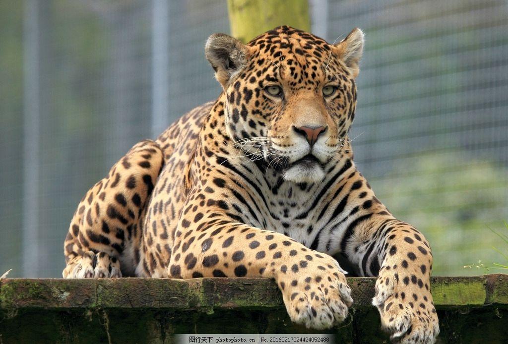 唯美 炫酷 生物 动物 豹子 花豹 凶猛 金钱豹 摄影 生物世界 野生动物