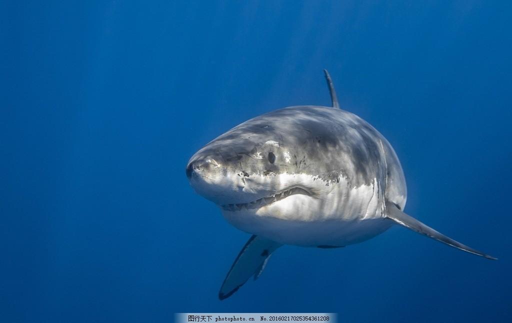 大鲨鱼 鲨鱼 大白鲨 鱼类 大海 海洋 深海 深海鱼类 海洋动物 水生