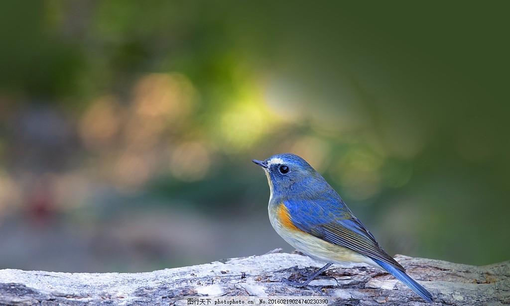 蓝背鸲鸟 唯美 动物 生物 可爱 摄影