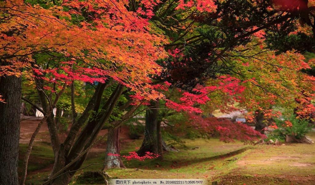 秋天的红叶林 红叶 秋天风景 红叶林 秋天景色 枫叶 秋色怡人 风景