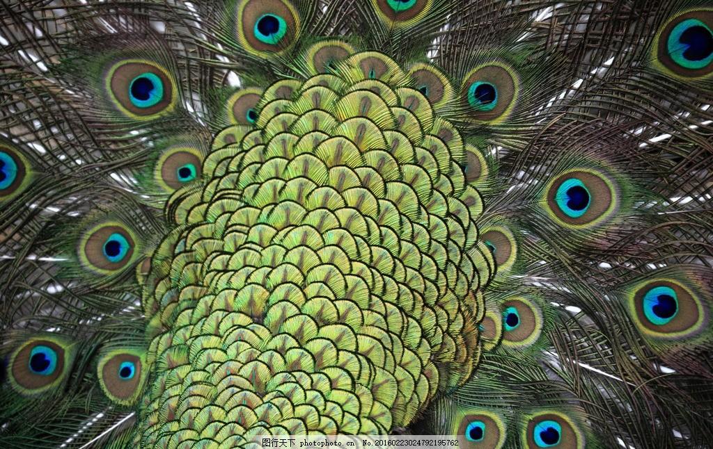 孔雀尾巴特写 孔雀开屏 特写 尾巴 动物 鸟 羽毛 高清 蓝孔雀 摄影