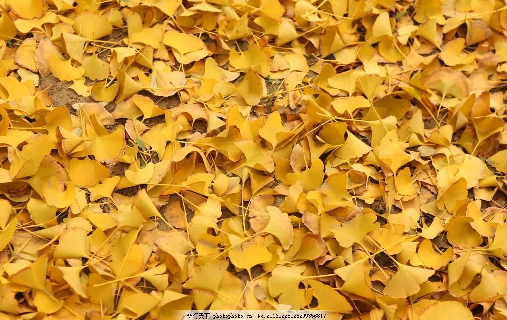 银杏叶 银杏树 银杏林 秋天 黄色 秋日 落叶 树林 摄影作品