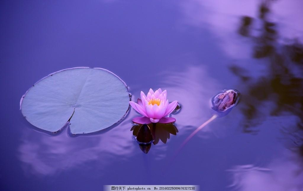 荷花 水池 水塘 蓝天 紫色 风景名胜 摄影 自然景观 自然风景 300dpi