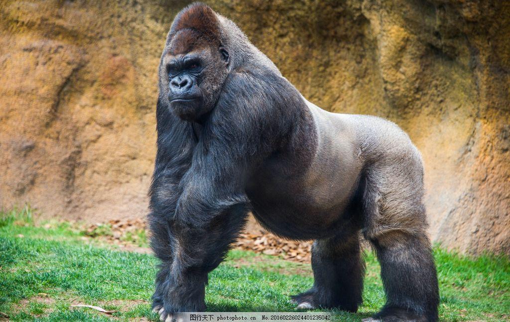 黑猩猩 唯美 炫酷 可爱 动物 野生 摄影
