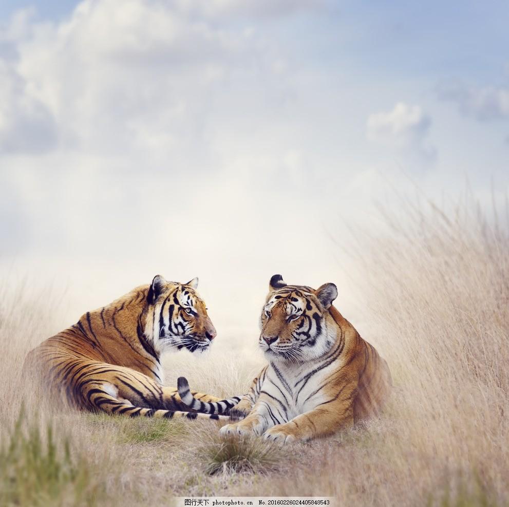 炫酷老虎 唯美 可爱 动物 野生 凶猛 摄影