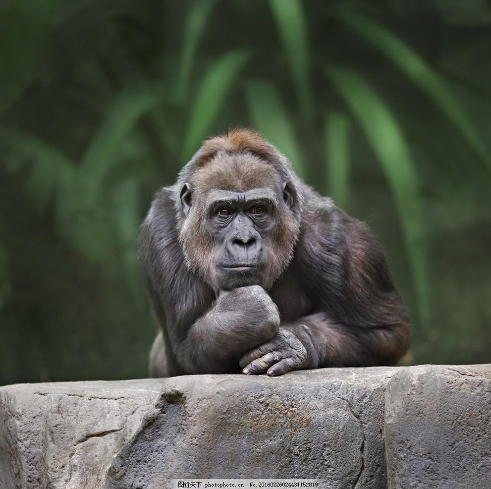 唯美 炫酷 可爱 动物 野生 猩猩 黑猩猩 摄影 生物世界 野生动物 300