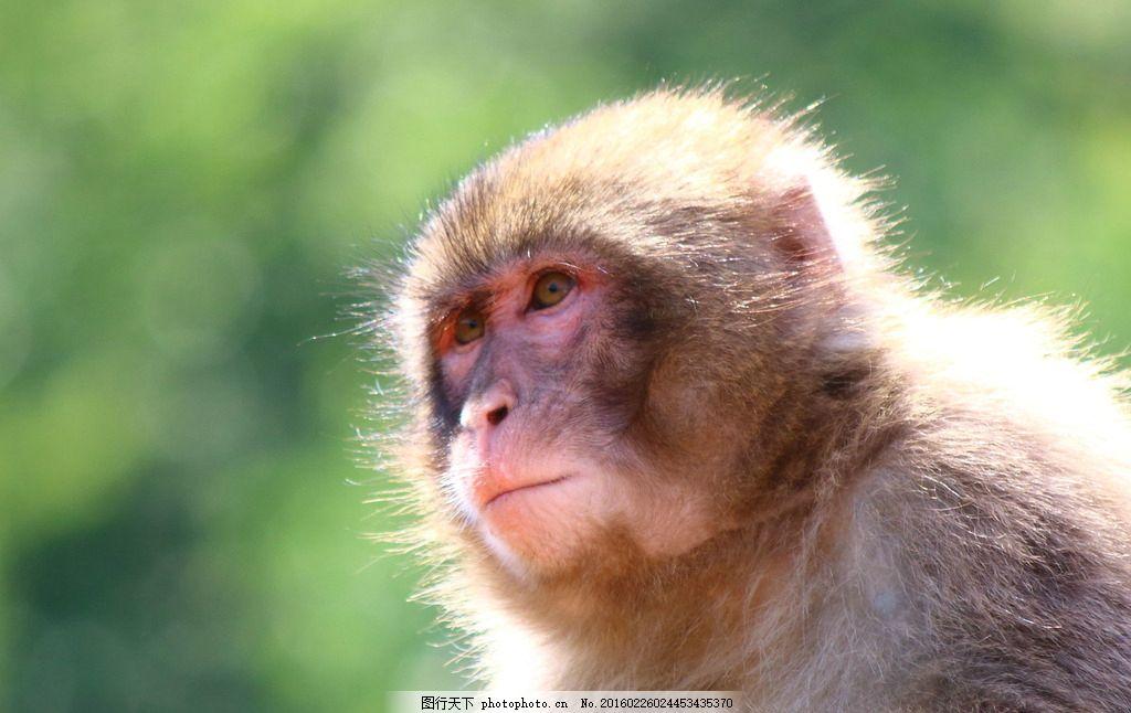 炫酷猴子 唯美 炫酷 猴子 可爱 动物 野生 金丝猴 摄影 生物世界 野生