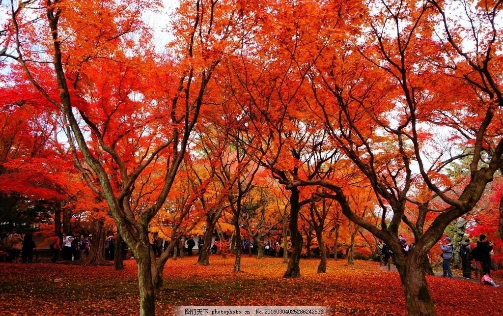 红色枫林 枫林 枫树 枫叶 树林 风景 唯美 摄影 生物世界 树木树叶