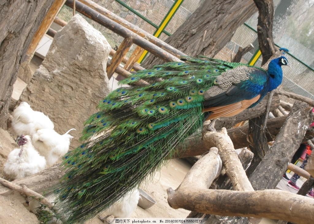 蓝孔雀 飞禽 动物 动物世界 动物园 动物摄影 孔雀羽毛 尾巴