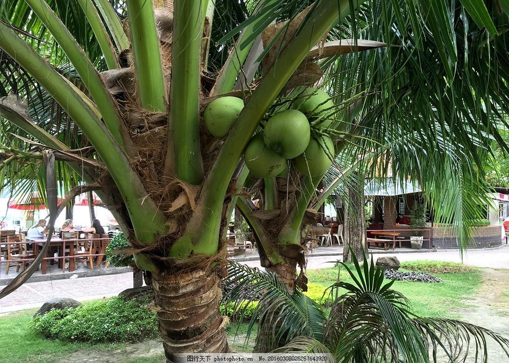 椰子 水果 椰子树 泰国 果树 摄影 生物世界 树木树叶 72dpi jpg