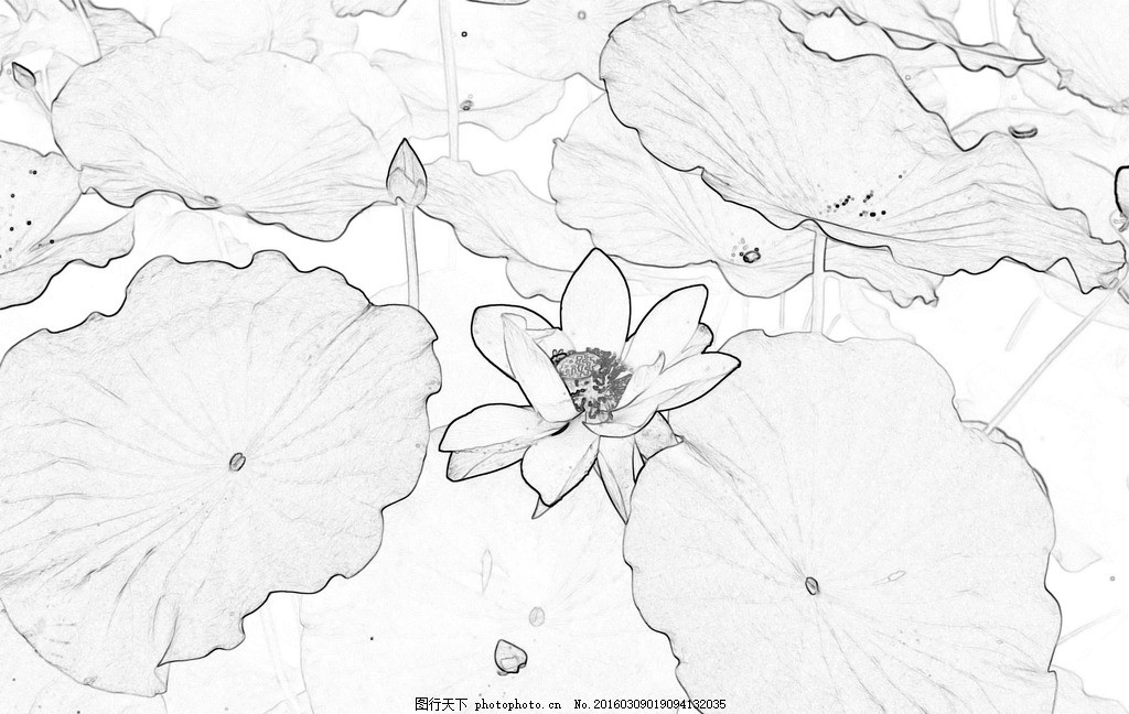 黑白线描 素描荷花 素描 荷花 荷花插画 铅笔画 手绘 荷塘 荷叶 花卉