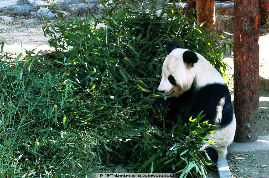 大熊猫 国宝 动物园 动物 可爱 熊猫 摄影 生物世界 野生动物 300dpi