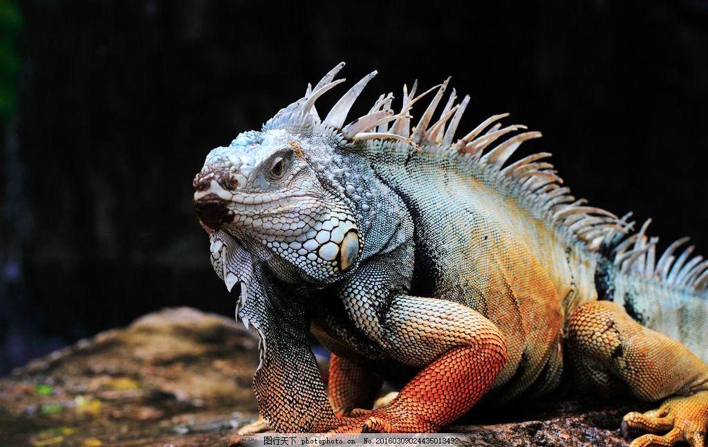 变色龙 唯美 炫酷 生物 动物 野生 爬行动物 摄影