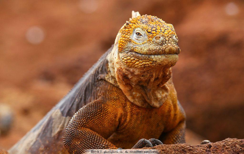 变色龙 唯美 炫酷 生物 动物 野生 爬行动物 可爱 摄影