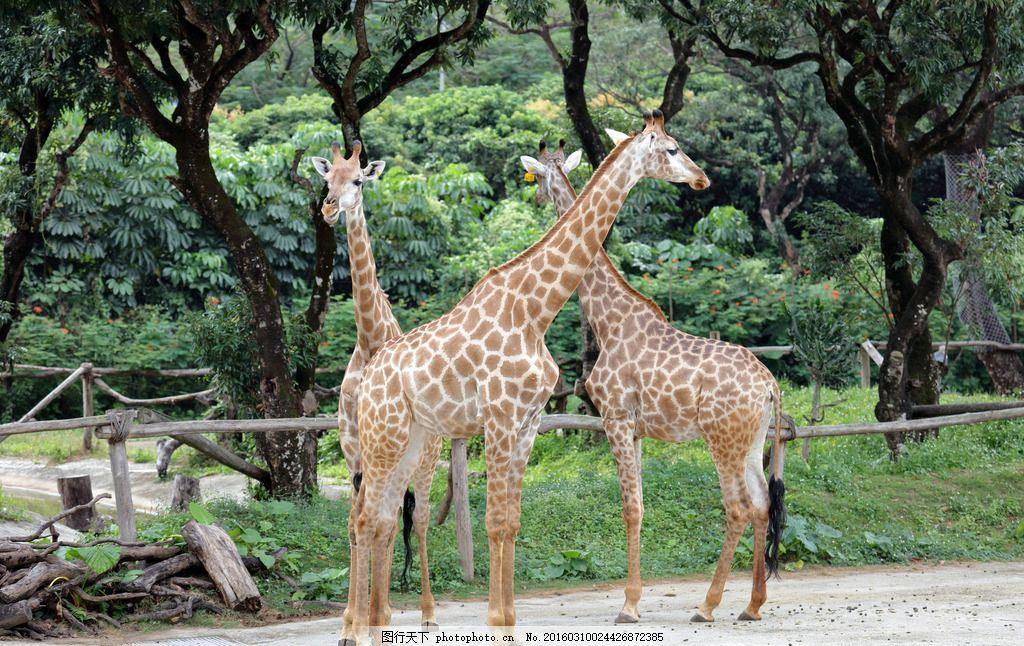 长颈鹿 动物 反刍偶蹄动物 长脖鹿 草食动物 摄影 生物世界 野生动物