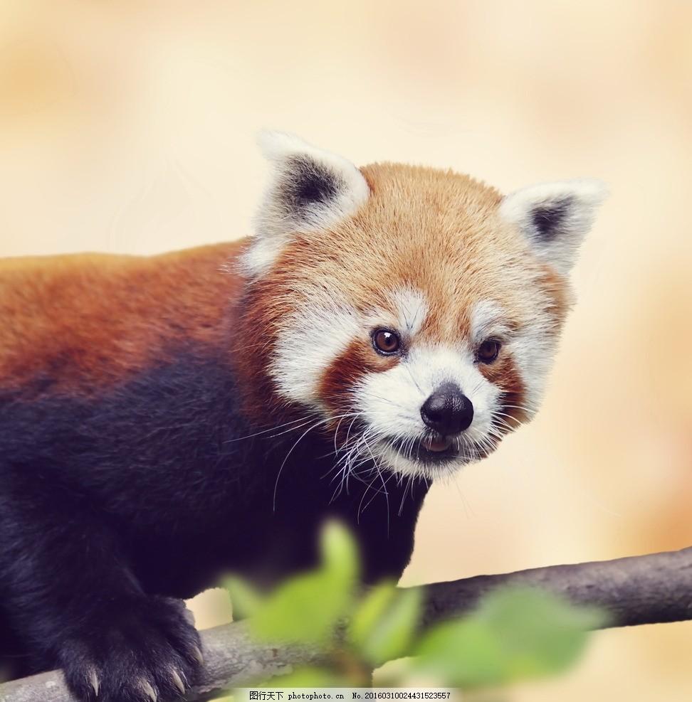 小熊猫 唯美 炫酷 可爱 动物 生物 摄影