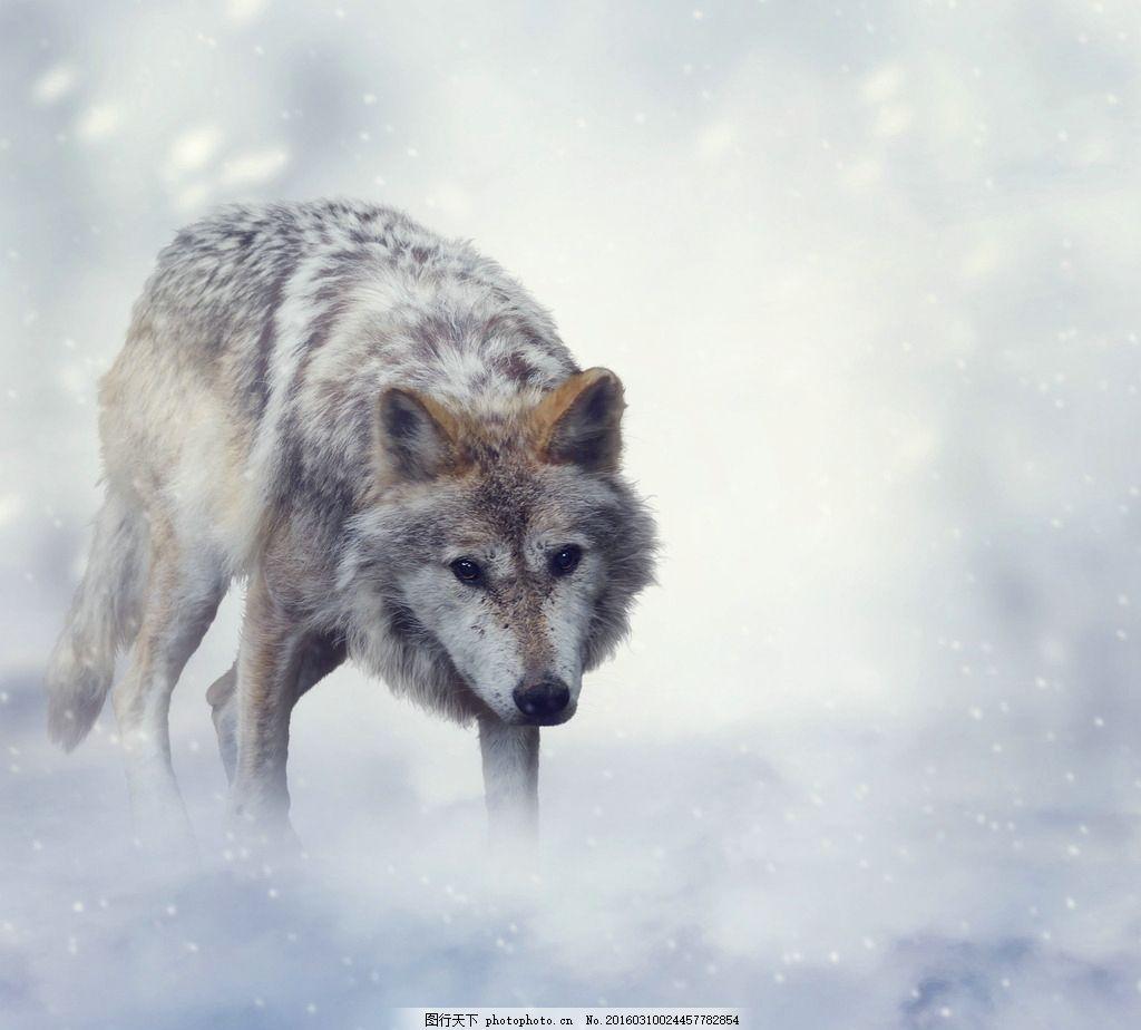 野狼 大灰狼 哺乳动物 食肉动物 野生 保护动物 动物世界 摄影