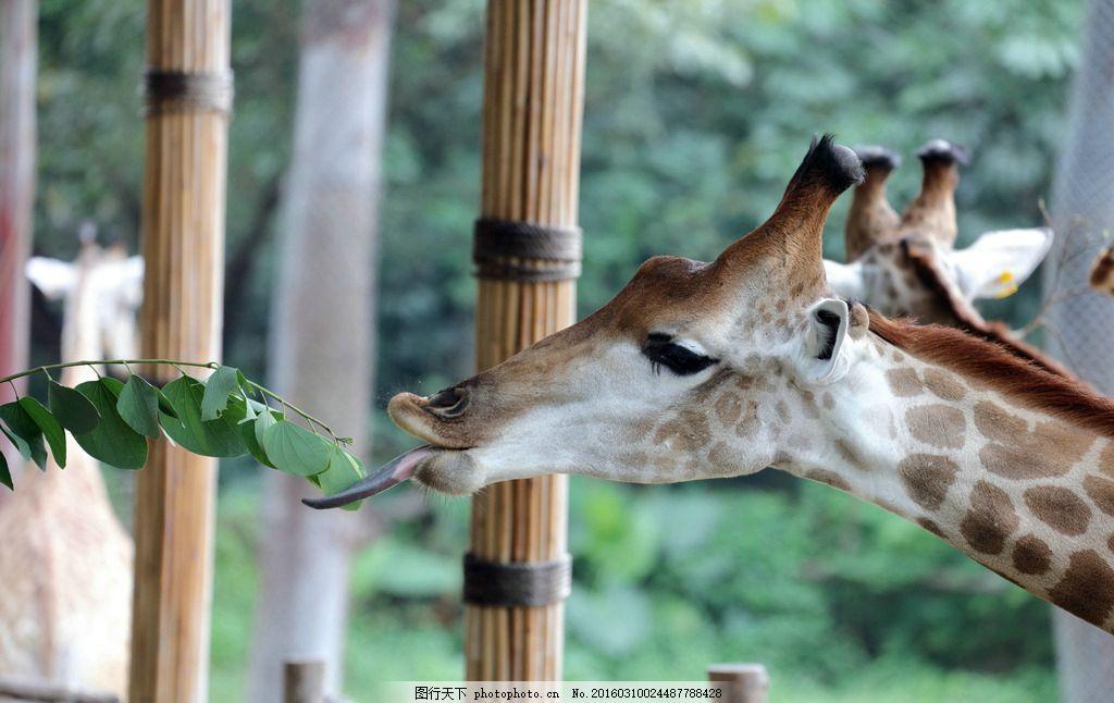 喂食长颈鹿 喂食 长颈鹿 动物 长脖子 投食 树叶 喂养 头部 摄影 生物